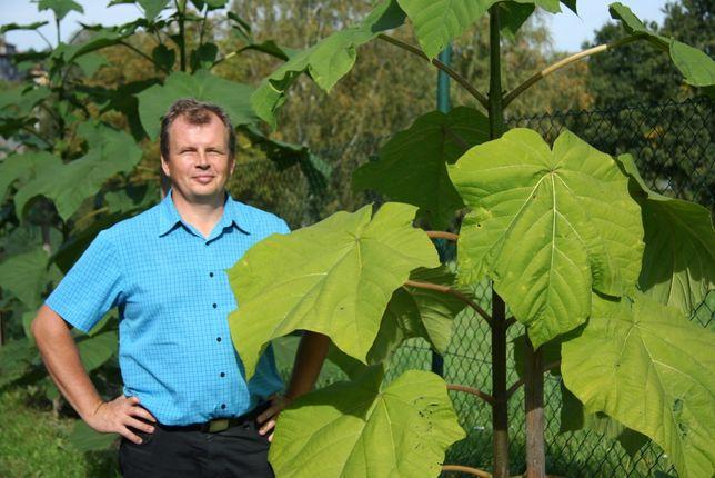 Paulownia Shang Tong, Oxytree, Drzewo szybko rosnące. PRODUCENT