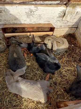 Króliki młode Barany Francuskie sprzedam królik