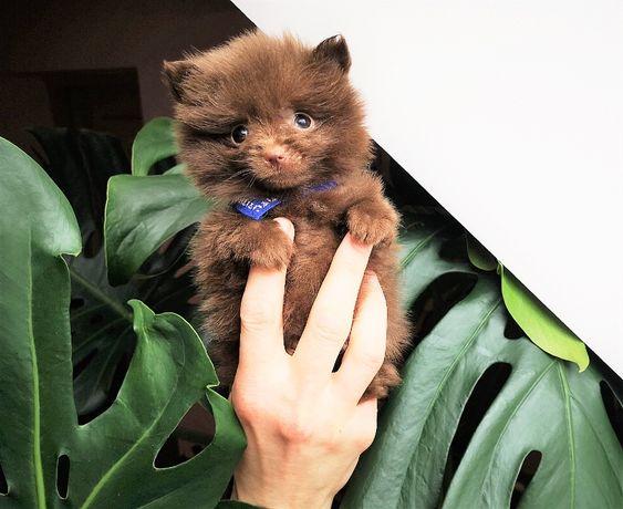 Szpic Miniaturowy -Pomeranian-Czekoladowe