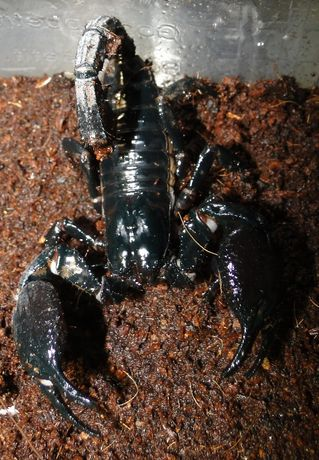 Skorpiony Heterometrus sp..