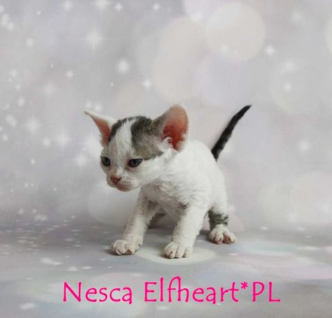 Koteczka Devon Rex Nesca ELFHEART.PL - wolna