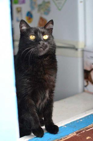 трьохрічна пишнопуза чорна кішка