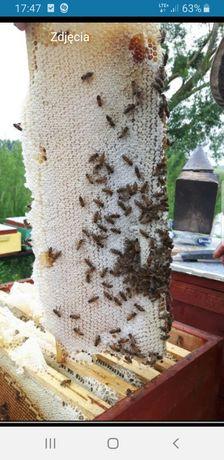 Matki pszczele buckfast GZ