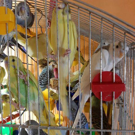 Продаються яскраві,молоденькі хвилясті папужки .