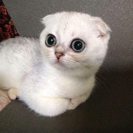 Вислоухие шотландские котики серебристые шиншиллы