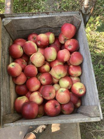 Продам яблука Ггала
