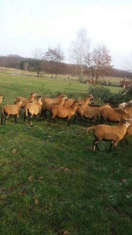 Owce kameruńskie, czarnogłówki