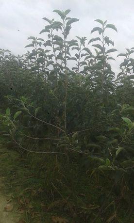 Drzewka owocowe mozliwa wysyłka jabłoń wiśnia czereśnia morela
