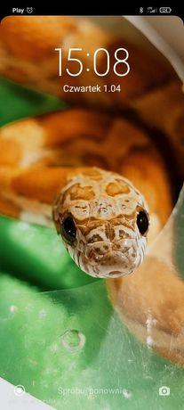 Wąż zbożowy golddust