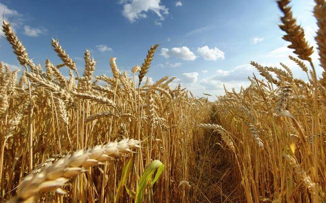 Продам пшеницю 2021