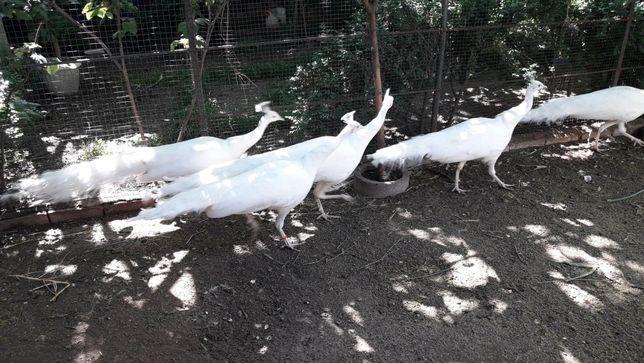 Белые павлины 2 года