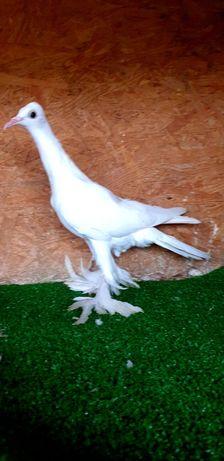 Bocian prosty gołąb gołębie bociany łapciaty