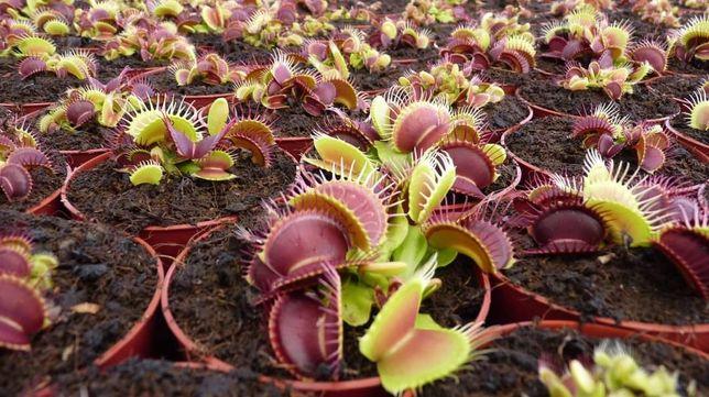 Planta carnívora B52