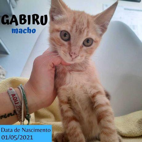 Gatinho 3 meses para adoção (Gabiru)