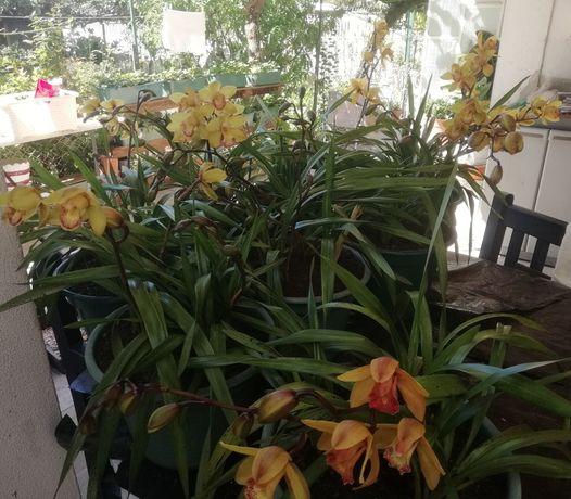 Venda de vasos de orquídeas agora todos a 10 euros cada