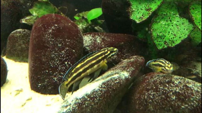 Ciclideos Tanganyika juvenis julidochromis kipili