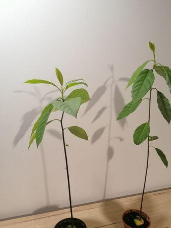 Drzewko avocado 60cm