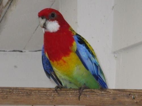 Попугай Розелла пестрая,красная,рубиновая ручные птенцы