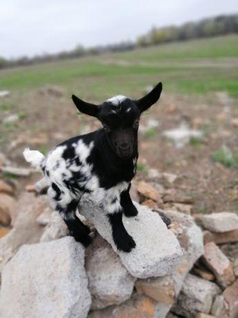 Продам камерунских коз