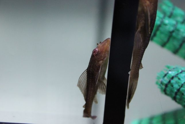 Glonojad plekostomus 4/5 cm od 10 sztuk po 6 zł