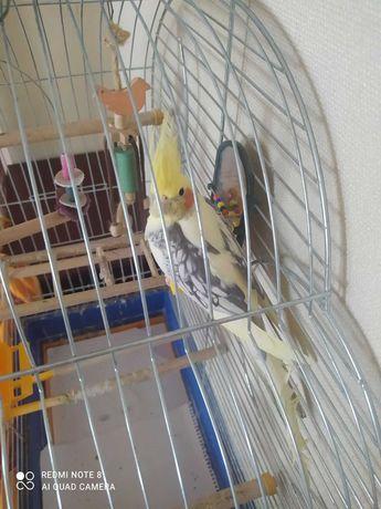 Попугай корелла (6 місяців)