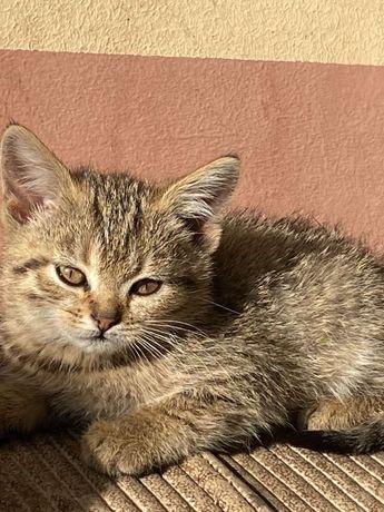 Котята от британской кошечки .