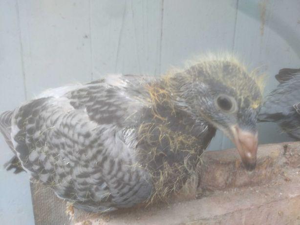 Młode gołębie pocztowe
