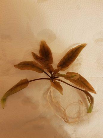 Rośliny, roślinki  do akwarium - Cryptocoryna brązowa