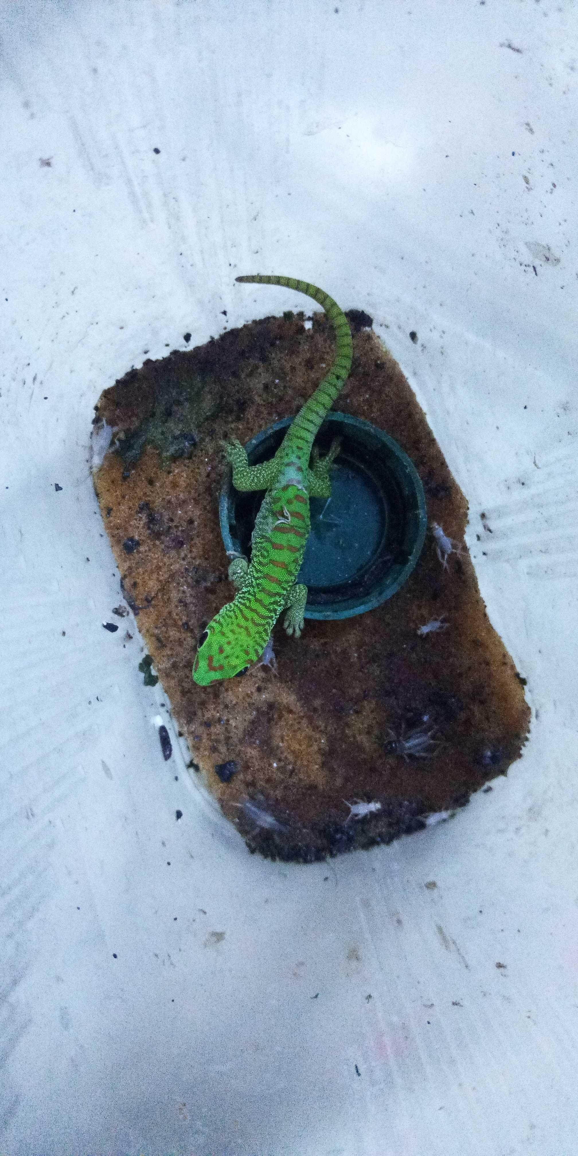 Фельзума дневной геккон
