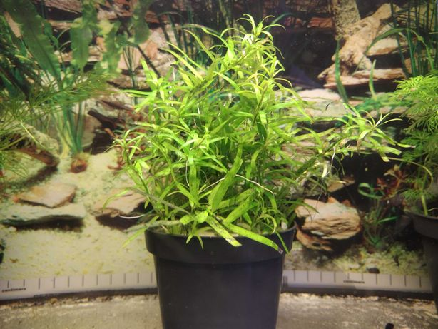 Heteranthera Zosterifolia - roślina do akwarium (łatwa w utrzymaniu)
