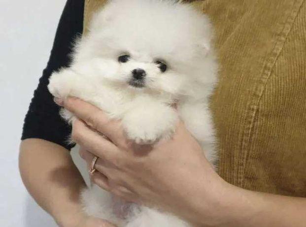 Продаётся щенок мальчик померанский шпиц