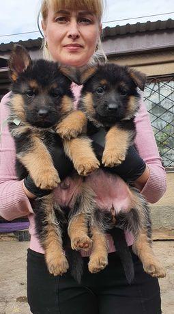 Крупные, яркие щенки немецкой овчарки с родословной. Одесса.