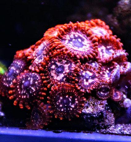 Zoanthus utter chaos akwarium morskie szczepki wysyłka
