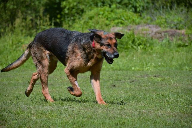 Bosman świetny pies szuka domu!