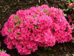 Azalia Japońska Rhododendron biała i różowa doniczka 1,5L
