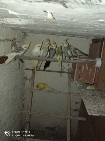 Młode papugi nimfy sprzedam