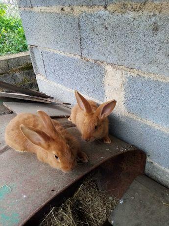 Vendo coelhos Leonardo de Borgonha e cruzados