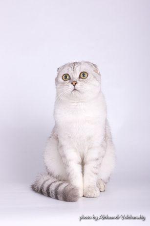 Вислоухий кот приглашает на вязку