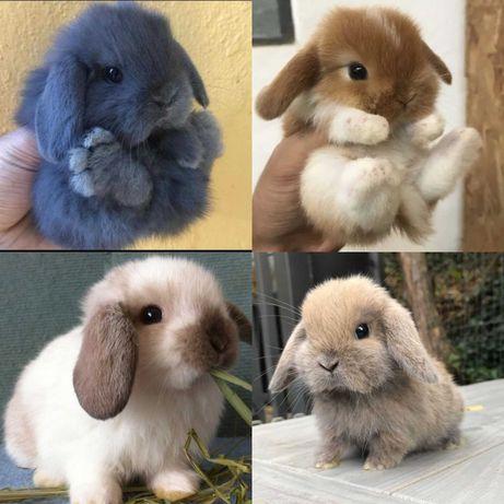 Coelhos anões mini Lop(orelhudos) muito fofos