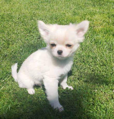 Chihuahua długowłosy chłopczyk ZKwP FCI