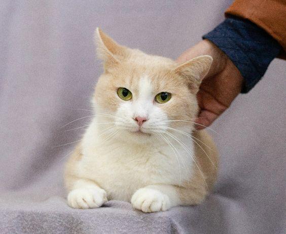 Муркотик Персей – найніжніше створіння. 1рік. Кіт, котик в добрі руки