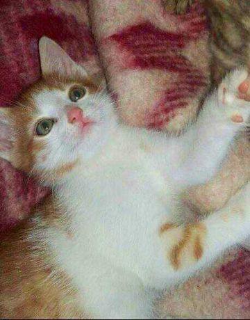Хлопчик на щастя! Котеня з рудим сердечком! 1.5 міс