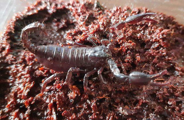 Скорпіон Heterometrus cyaneus
