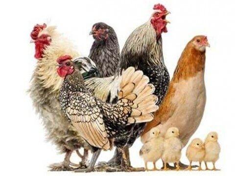 Інкубаційне яйце  найпродуктивніших кур