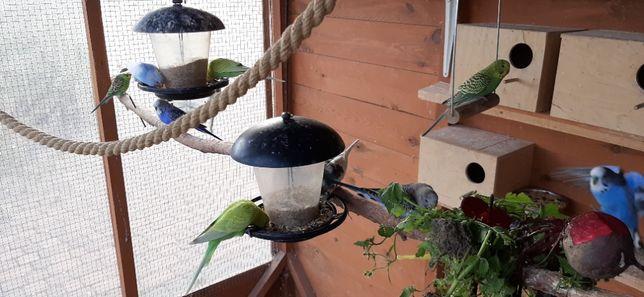 Papugi faliste Sochaczew