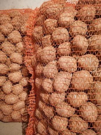 Ziemniaki swojskie odmiany Vineta,Tajfun,czerwone Rosalind, sadzeniaki