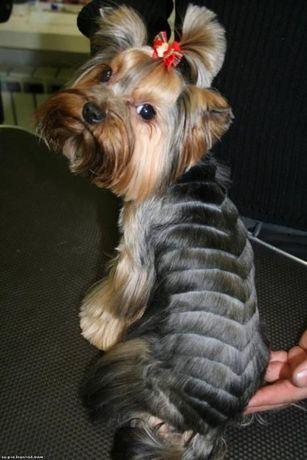Стрижка собак (йорки-150грн,ши-тцу-200грн,пекинес-200грн,спаниель-300.