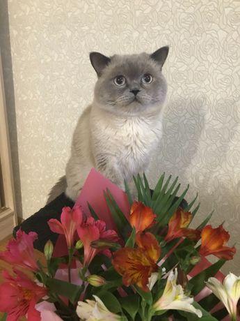 Кот британец в поисках прекрасной дамы.
