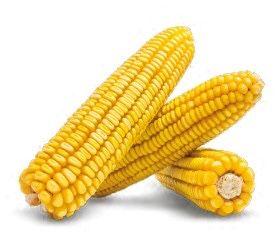 Насіння кукурудзи .Гібрид новий .фао 200.Торг