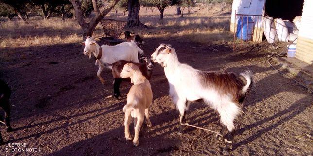 Uma cabra duas chibas e um bode